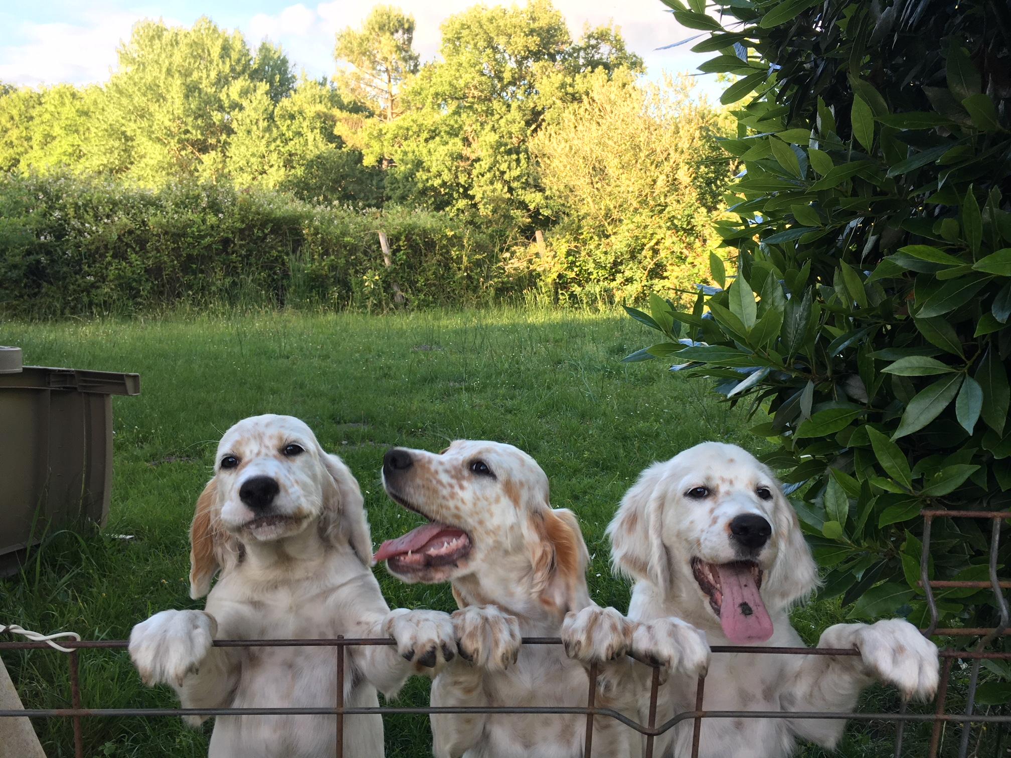 acheter chien de chasse medoc gironde