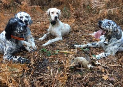Chiot de chasse à vendre en Gironde, éleveur chiot de chasse, Setter anglais