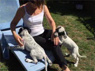 Éleveur canin en Gironde, Elevage dressage pension canine à Lesparre Medoc